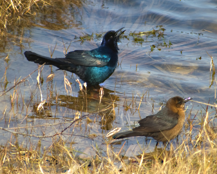 A male bird attempts to impress his female friend with his black and blue plummage.